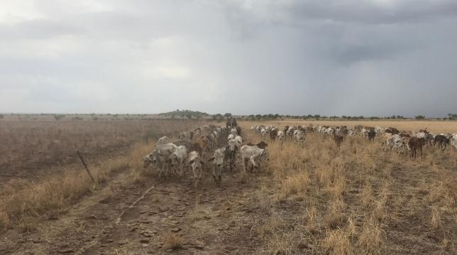Walking cattle out Riveren 2017